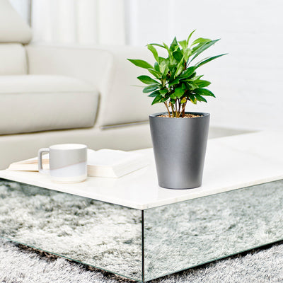 Ardisia Potted In Lechuza Deltini Charcoal Metallic Planter - Shop Online - My City Plants