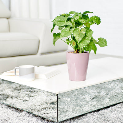 Arrowhead Potted In Lechuza Deltini Violet Planter - Shop Online - My City Plants