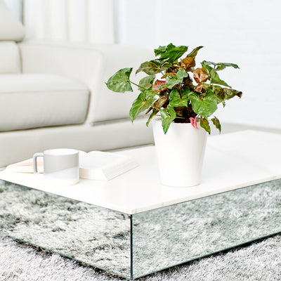 Arrowhead Potted In Lechuza Deltini White Planter - Shop Online - My City Plants