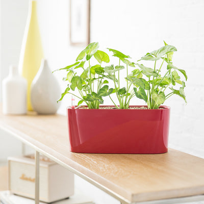 Arrowhead Potted In Windowsill Mini Red Planter - Shop Online - My City Plants