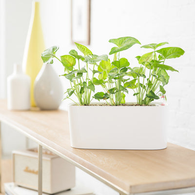 Arrowhead Potted In Windowsill Mini White Planter -Shop Online - My City Plants