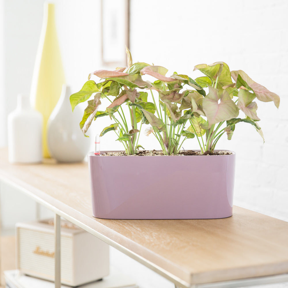Arrowhead Potted In Windowsill Mini Violet Planter - Shop Online - My City Plants