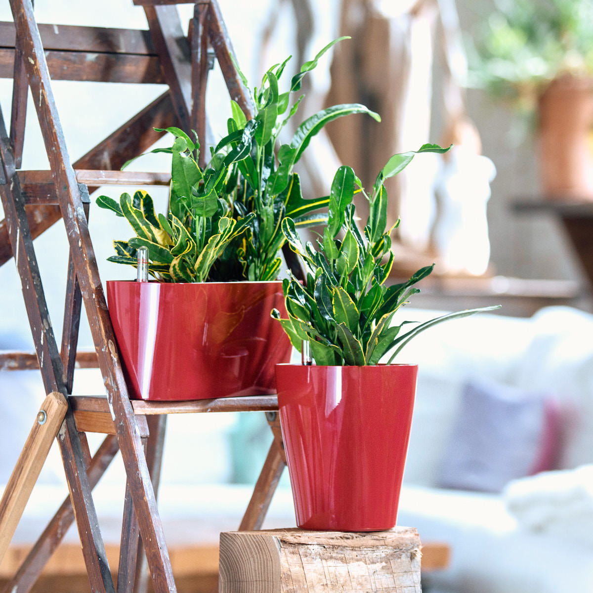 Banan Croto plant bundle in Lechuza red planters - My City Plants