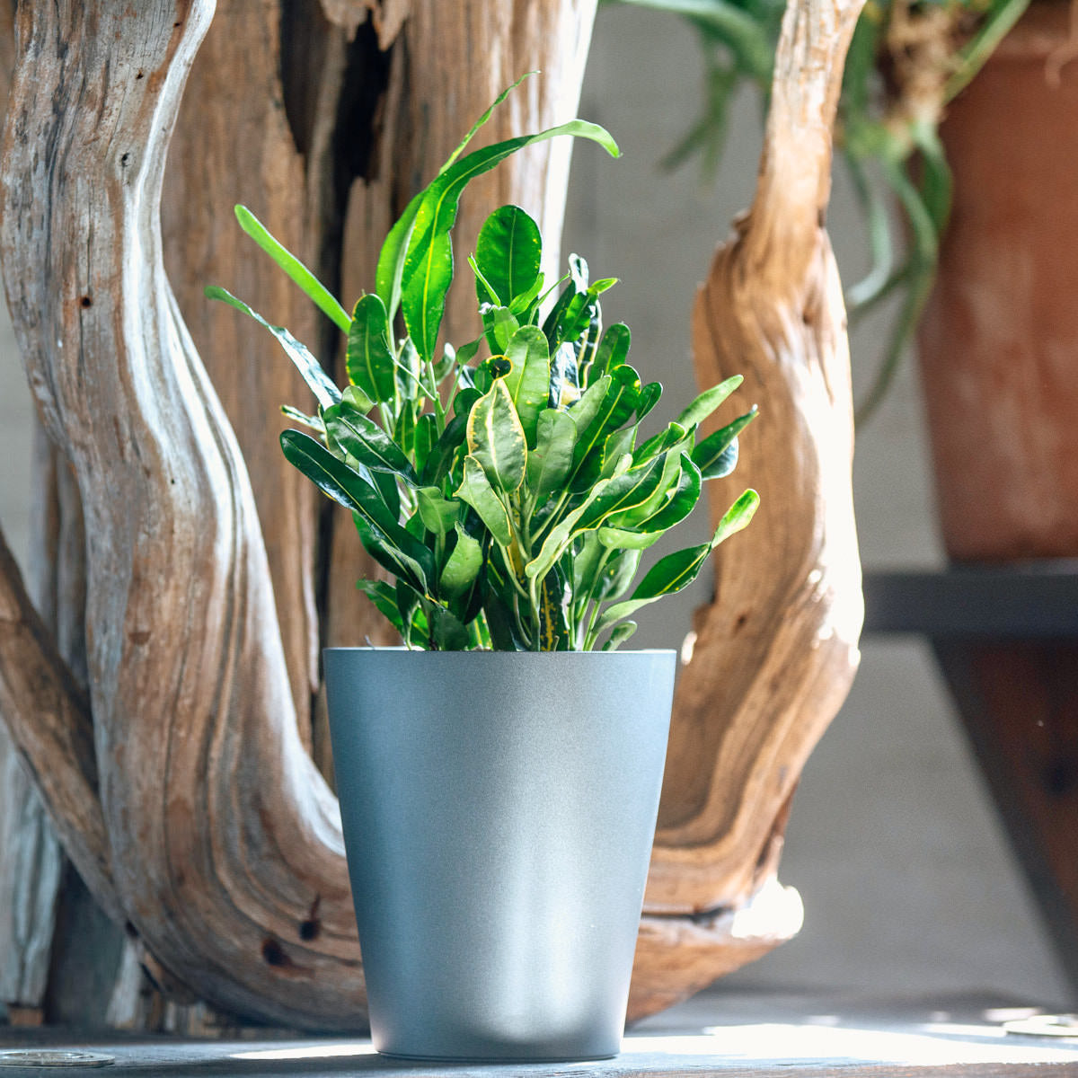 Banana Croton plant potted in Lechuza Lechuza Deltini charcoal metallic planter - Shop Online - My City Plants