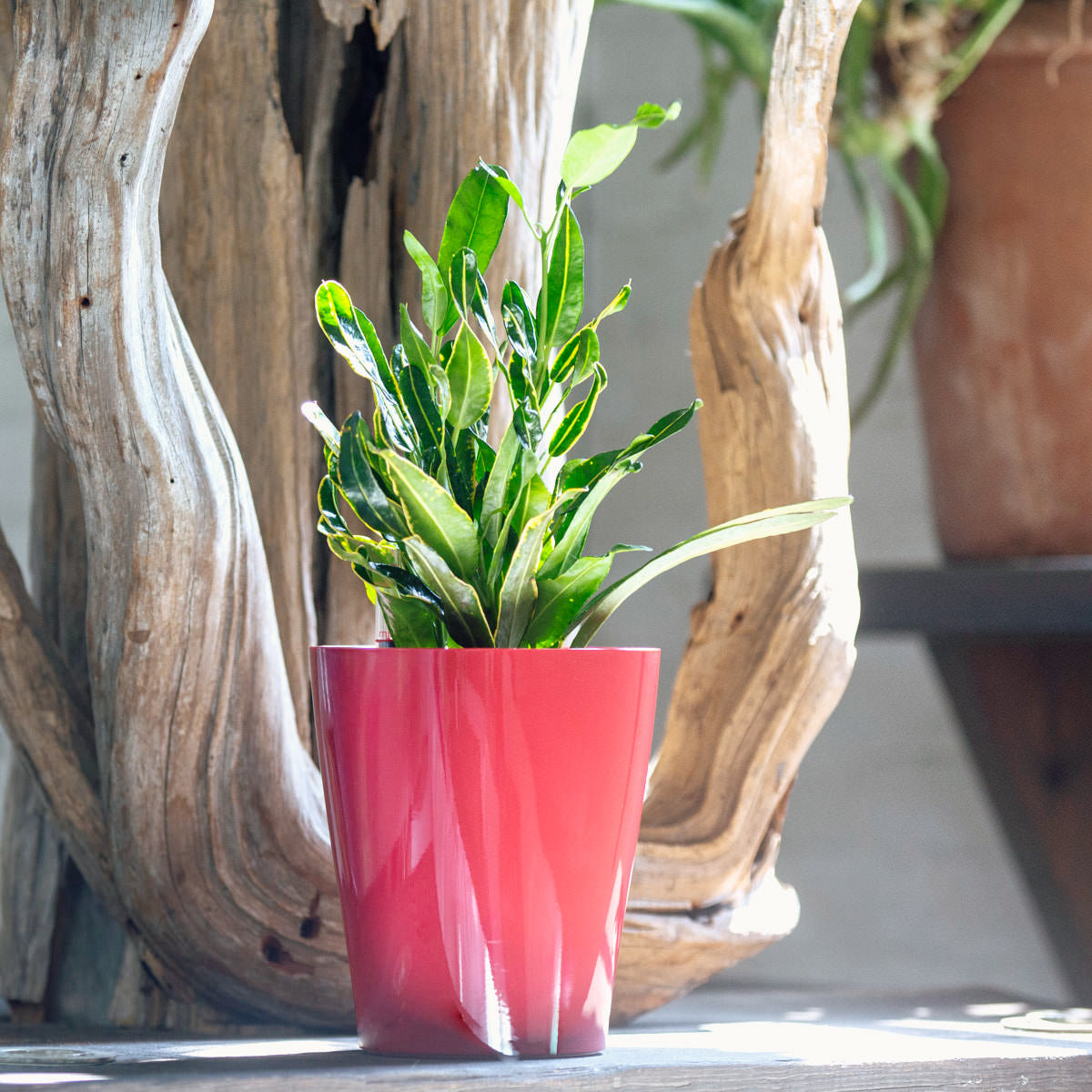 Banana Croton plant potted in Lechuza Lechuza Deltini red planter - Shop Online - My City Plants