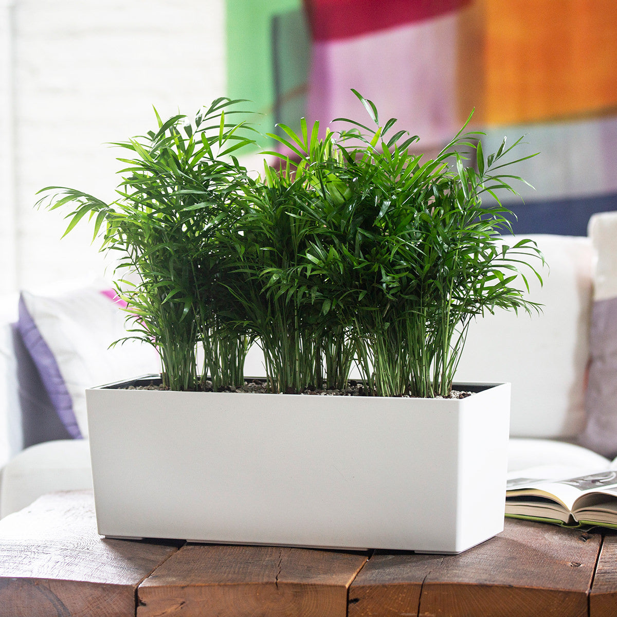 Bella Palm potted in Lechuza Balconera white self-watering planter
