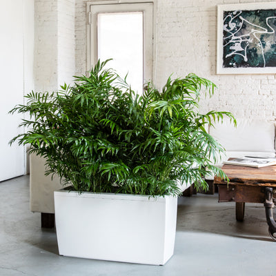 Bella Palm potted Lechuza Cararo white planter - My City Plants