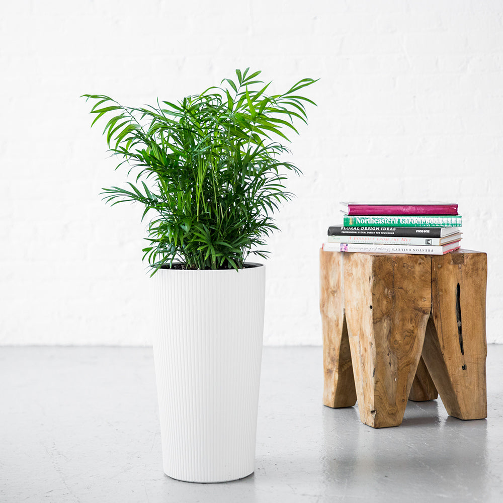 Bella Palm In Lechuza Cilindro Planter - Shop Online - My City Plants