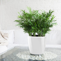 "Bella Palm - Bella Palm Classico 11"" - My City Plants"