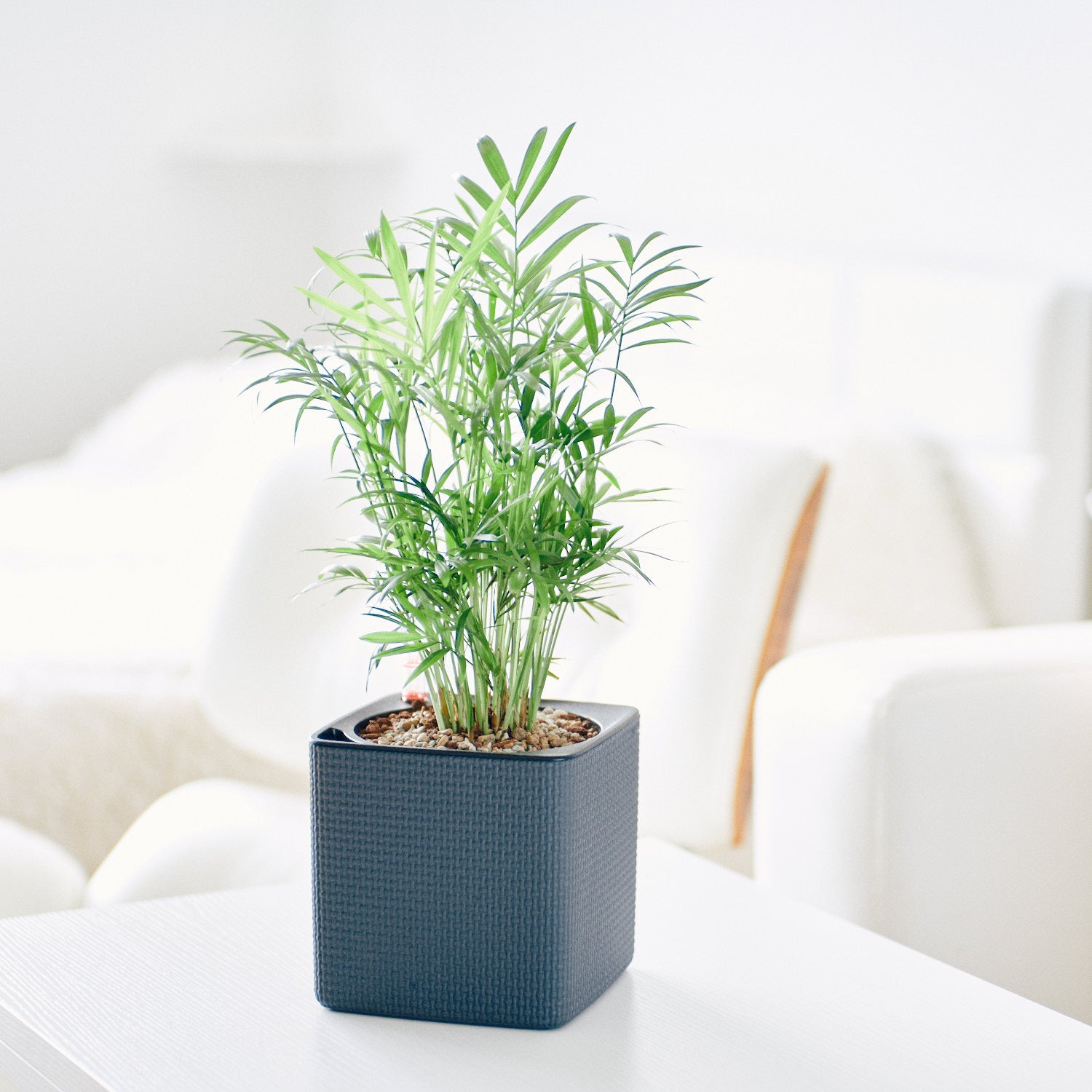 Bella Palm In Lechuza Cube 14 Slate Planter | My City Plants