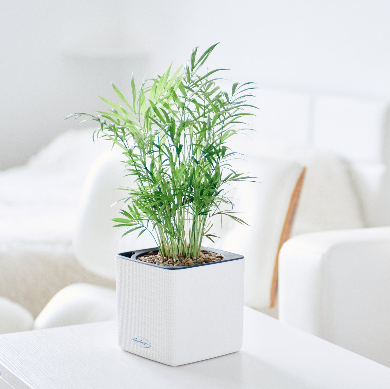 Bella Palm In Lechuza Cube 14 White Planter | My City Plants