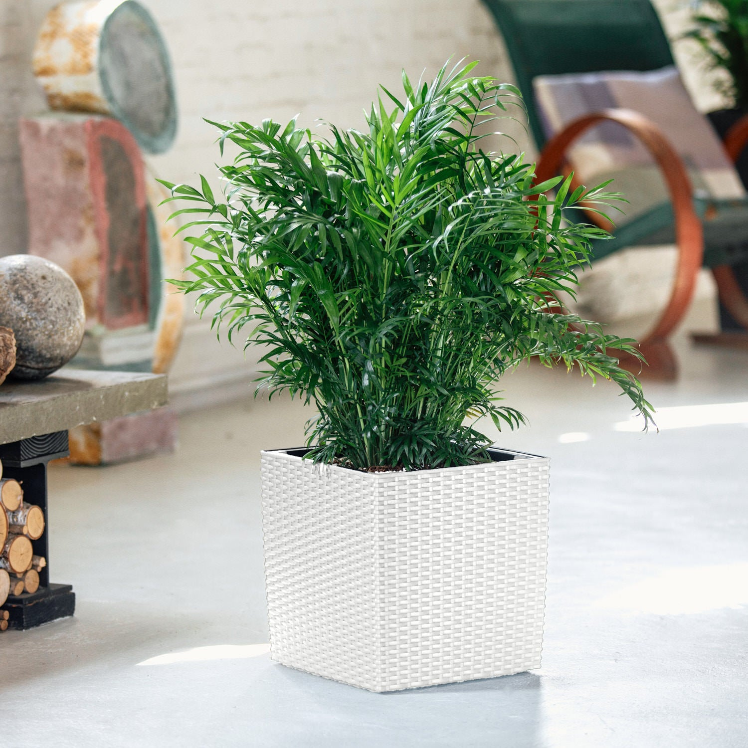 Bella Palm In Lechuza Cube Cottage White Planter | My City Plants