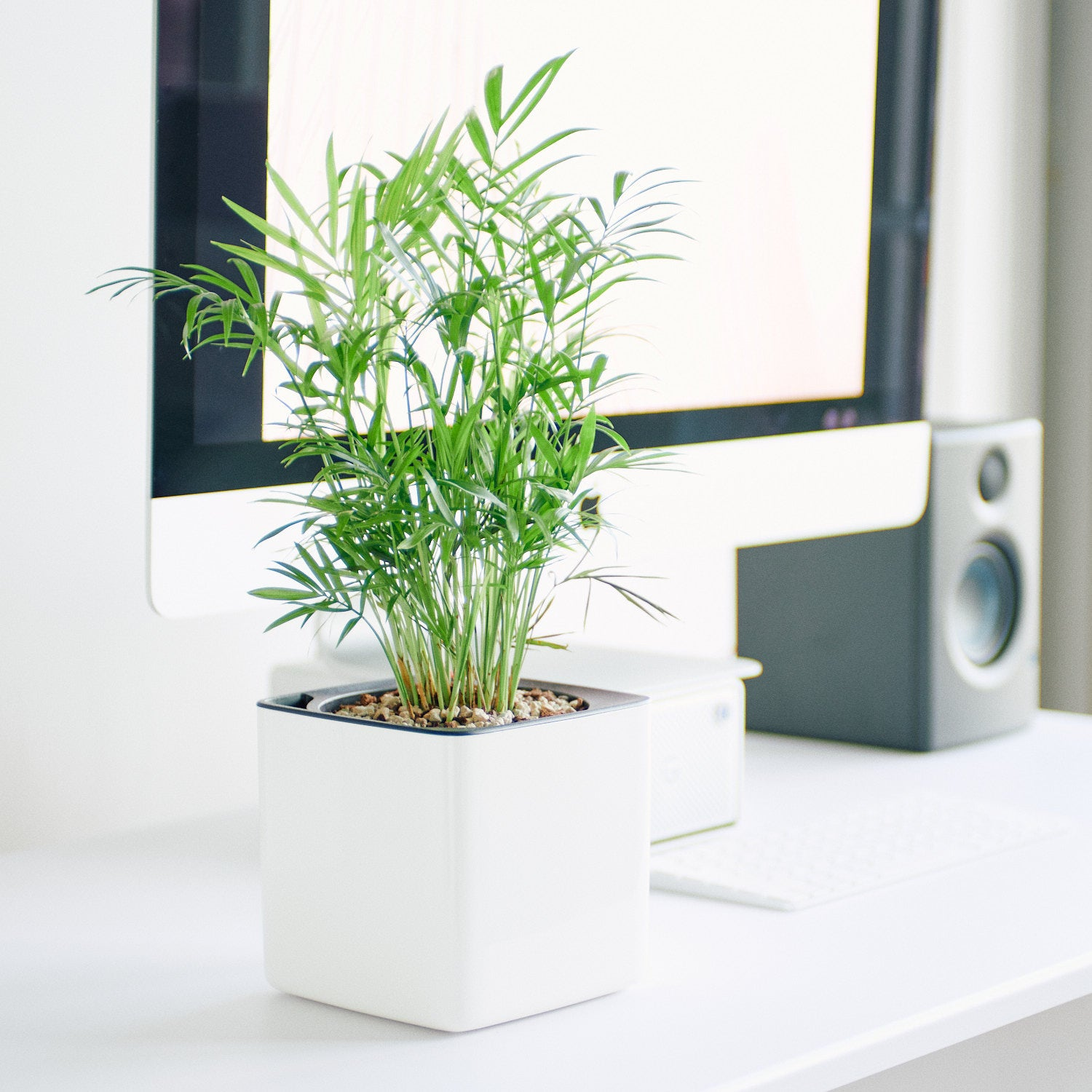 Bella Palm In Lechuza Cube 14 Glossy White Planter | My City Plants