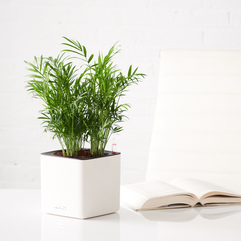 Bella Palm In Lechuza White Cube Planter - Shop Online - My City Plants