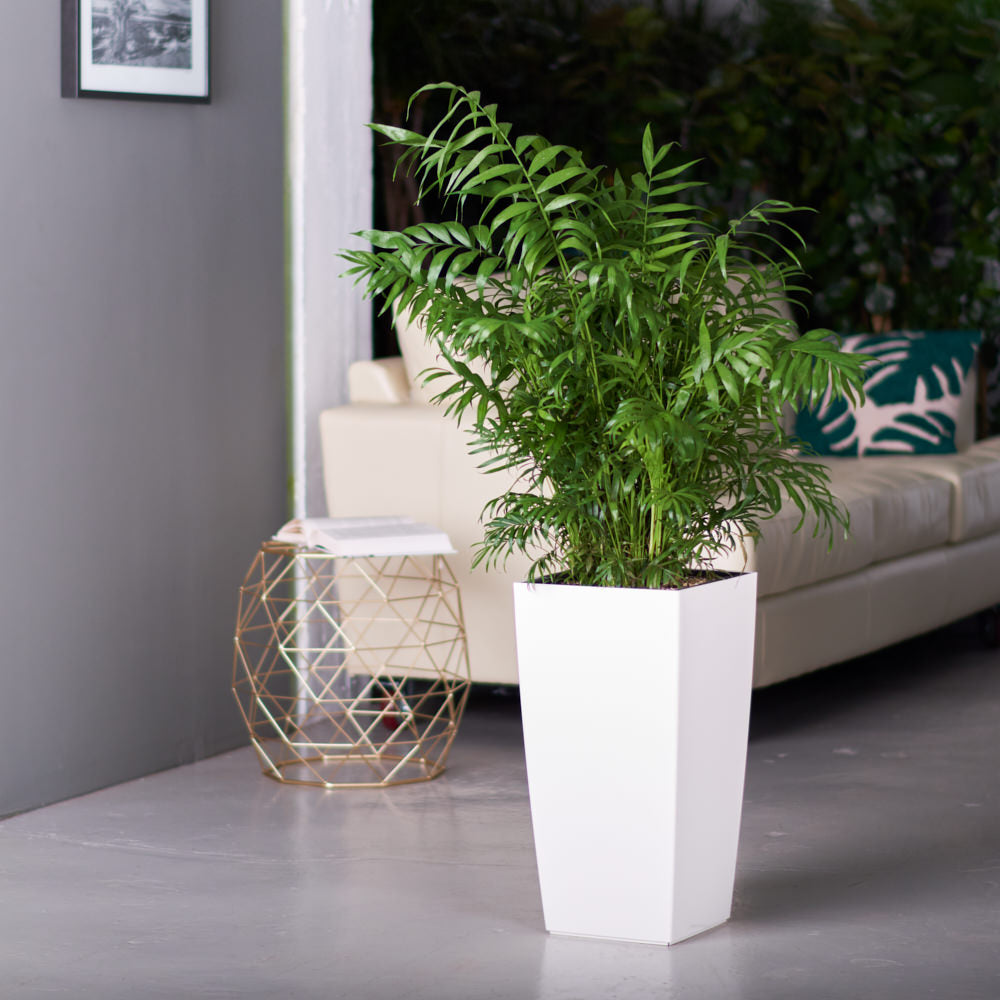 Bella Palm potted in Lechuza Cubico white planter - My City Plants