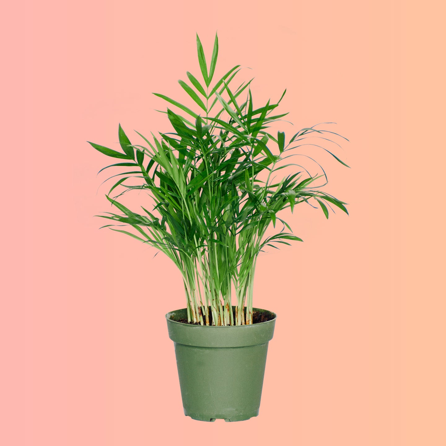 "Bella Palm In 4"" Nursery Pot 