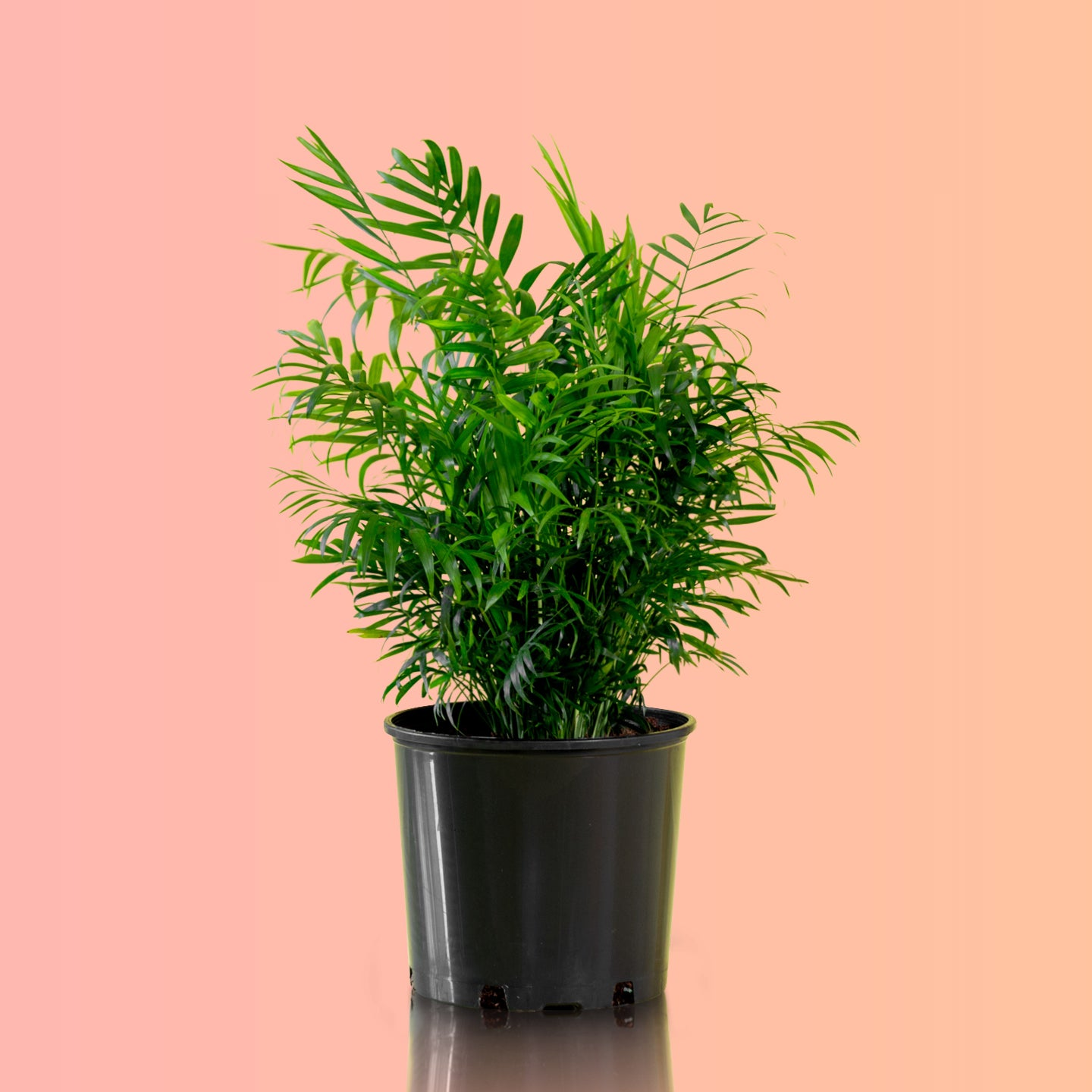 "Bella palm in 10"" nursery pot - My City Plants"