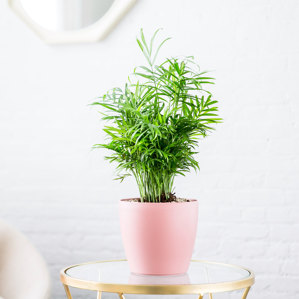 "Bella Palm Potted In Classico 7"" Pink Planter - My City Plants"