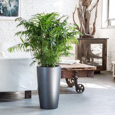 Bella palm potted in Lechuza Rondo charcoal metallic planter - My City Plants