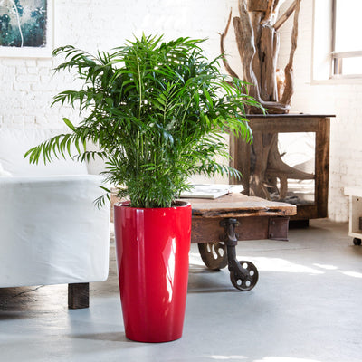 Bella palm potted in Lechuza Rondo red planter - My City Plants