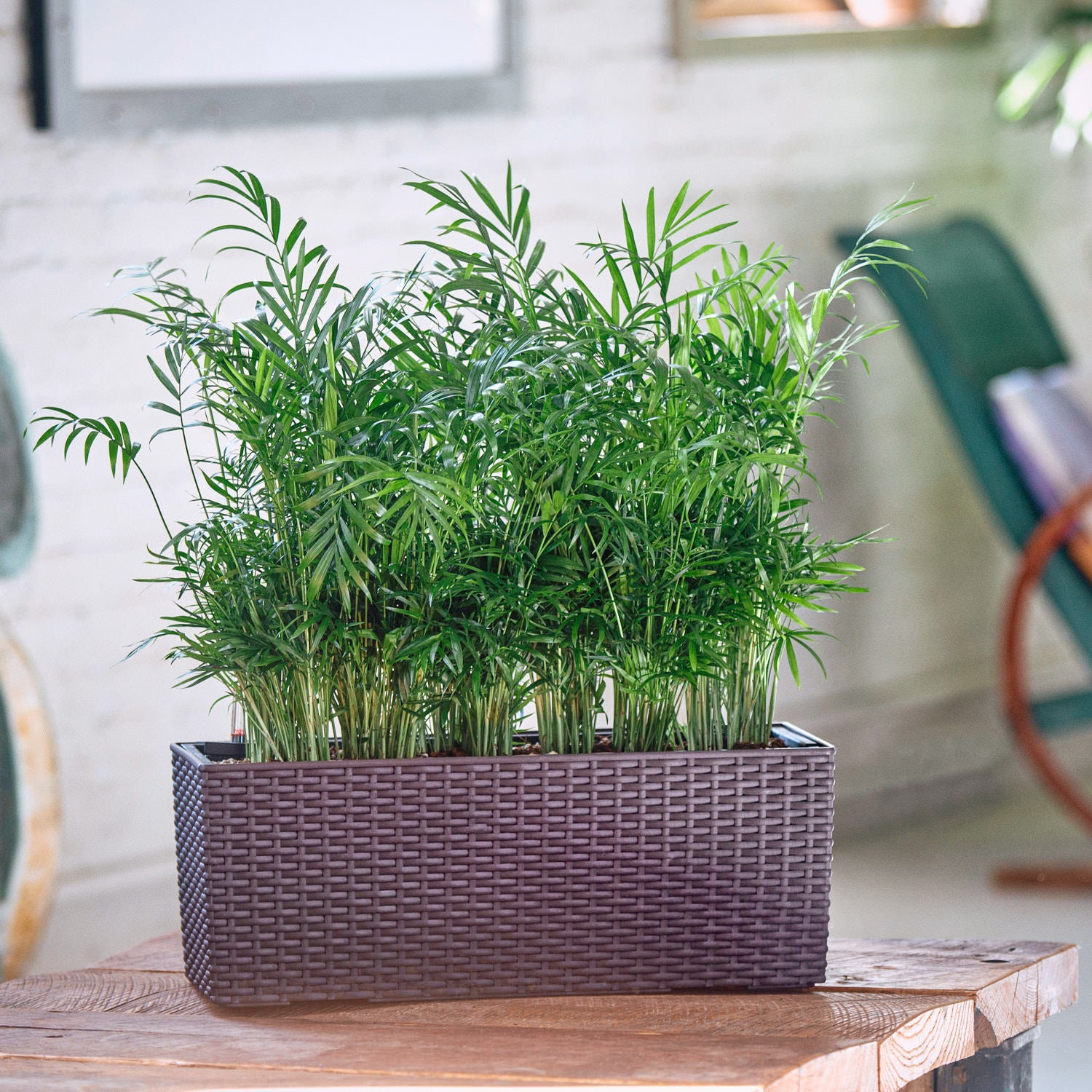 Bella Palm potted in Lechuza Balconera Cottage mocha planter - My City Plants