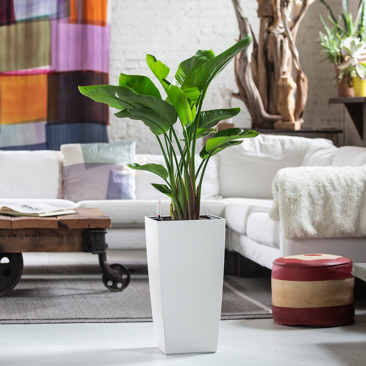 Bird of Paradise Indoor Plant Potted In White Cubico Planter - My City Plants