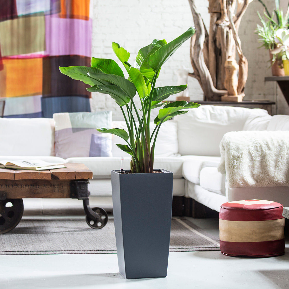 Bird of Paradise Indoor Plant Potted In Slate Cubico Planter - My City Plants
