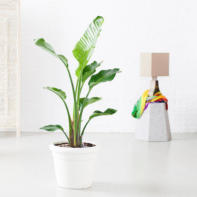 Bird of Paradise Plant Potted In Rustico Planter - Shop Online - My City Plants