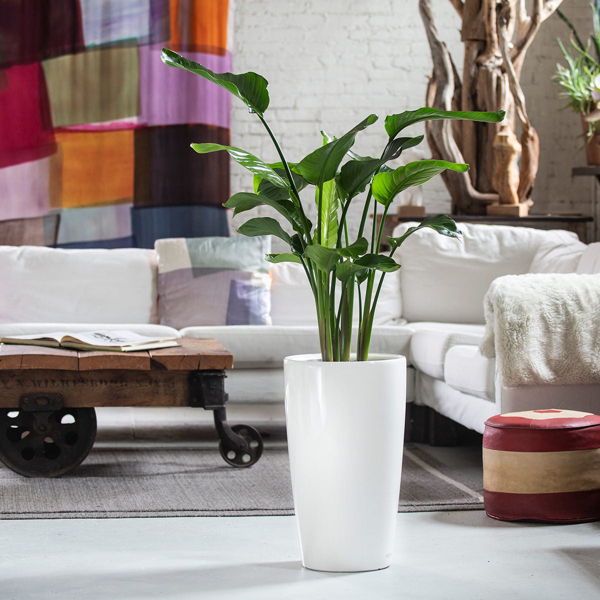 Bird of Paradise Indoor Plant Potted In White Rondo Planter