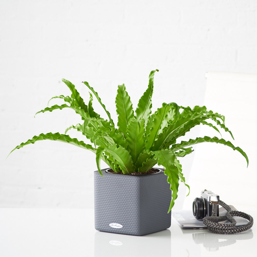 Bird's Nest Fern In Lechuza Slate Cube Planter - My City Plants