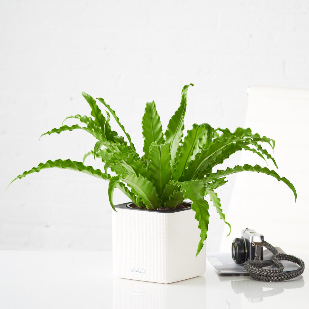 Bird's Nest Fern In Lechuza White Cube Planter - My City Plants