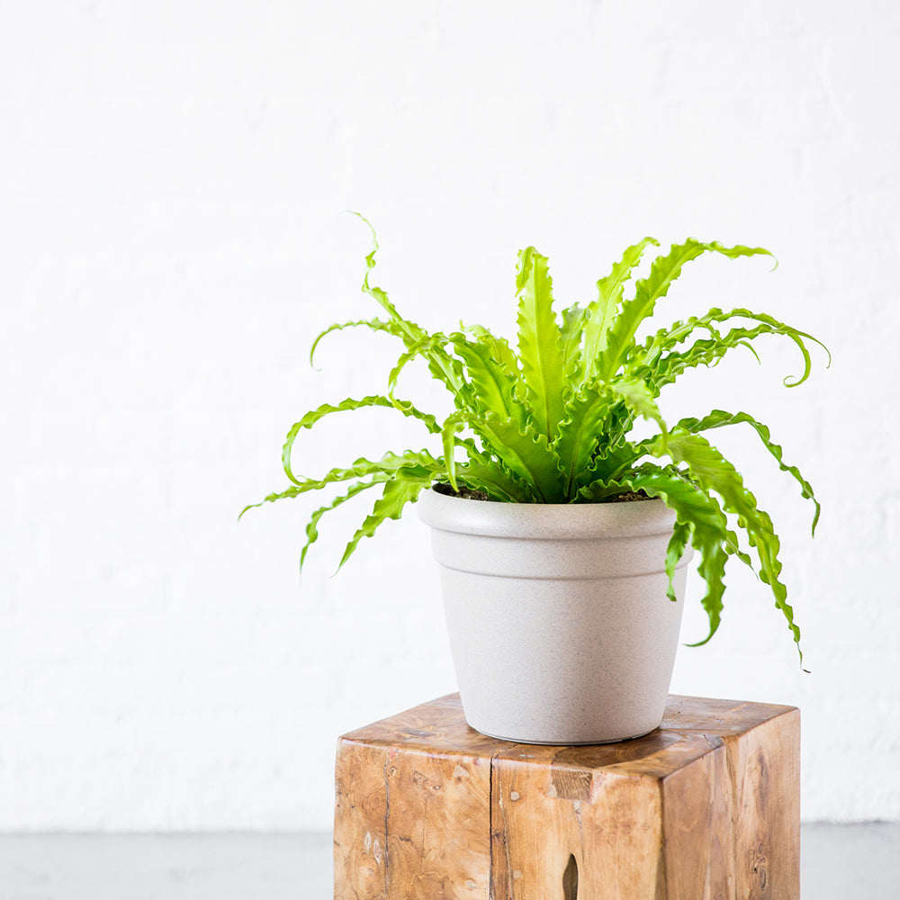 Bird's Nest Fern In Rustico Mini Sand Beige Planter - Shop Online - My City Plants