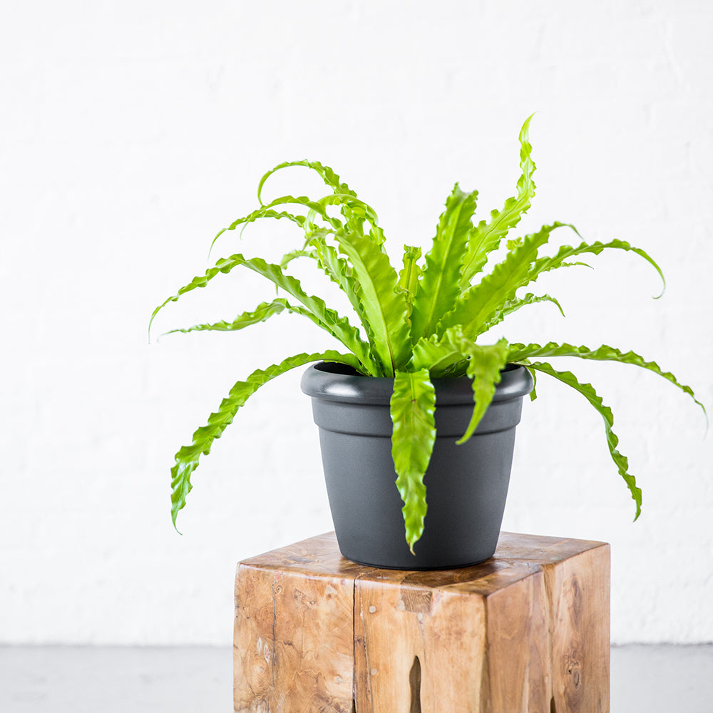 Bird's Nest Fern In Rustico Mini Graphite Black Planter - Shop Online - My City Plants