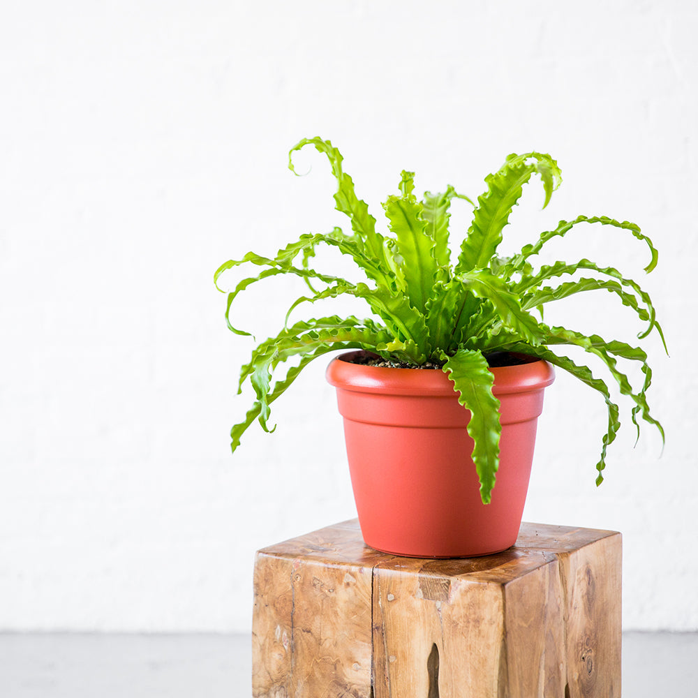 Bird's Nest Fern In Rustico Mini Terracotta Planter - Shop Online - My City Plants