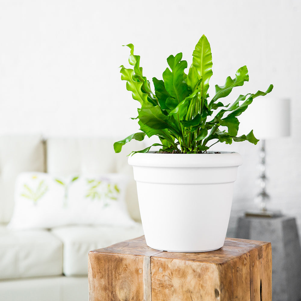 Bird's Nest Fern In Rustico Mini White Planter - Shop Online - My City Plants