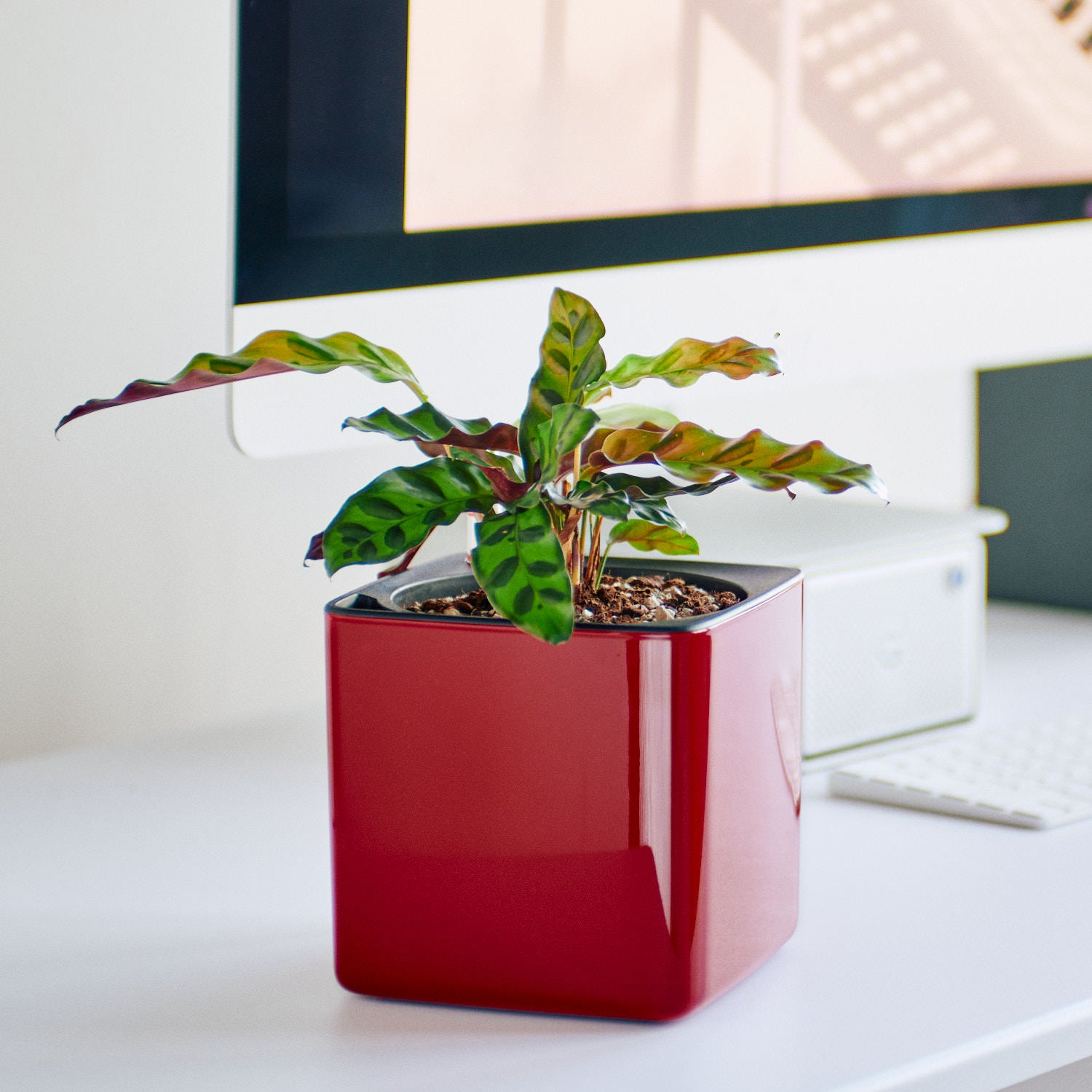 Calathea Potted In Lechuza Cube Glossy Red Planter | My City Plants