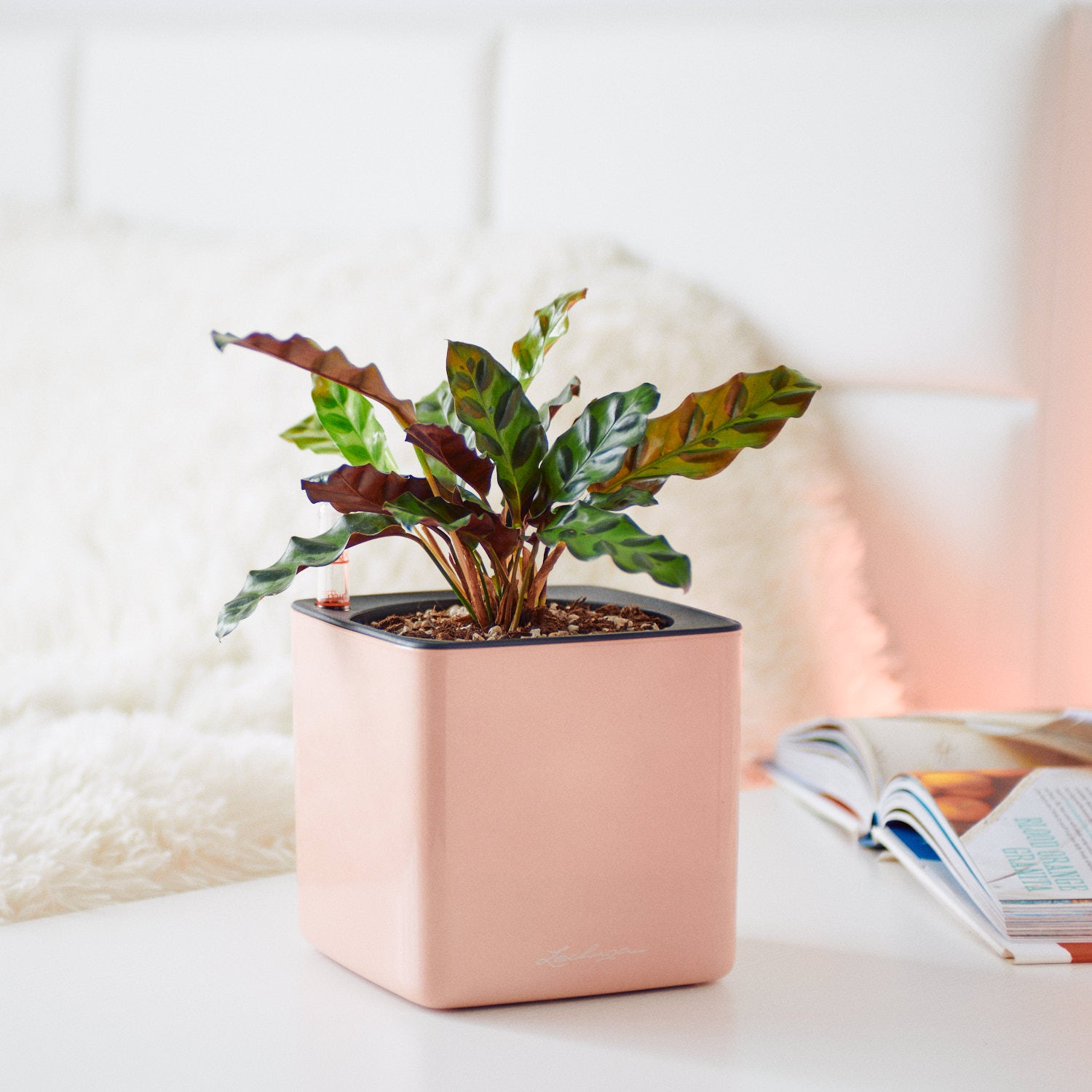 Calathea Rattlesnake In Lechuza Cube Cashmere Planter | My City Plants