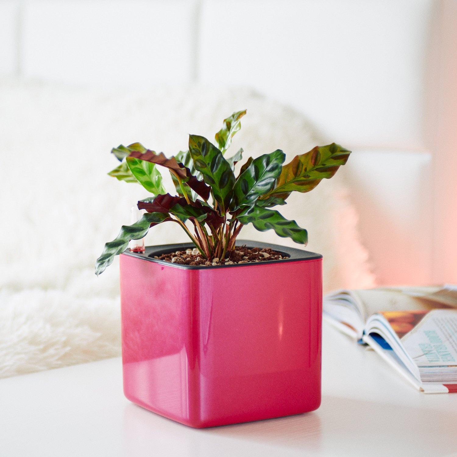 Calathea In Lechuza Cube Cherry Pie Planter | My City Plants