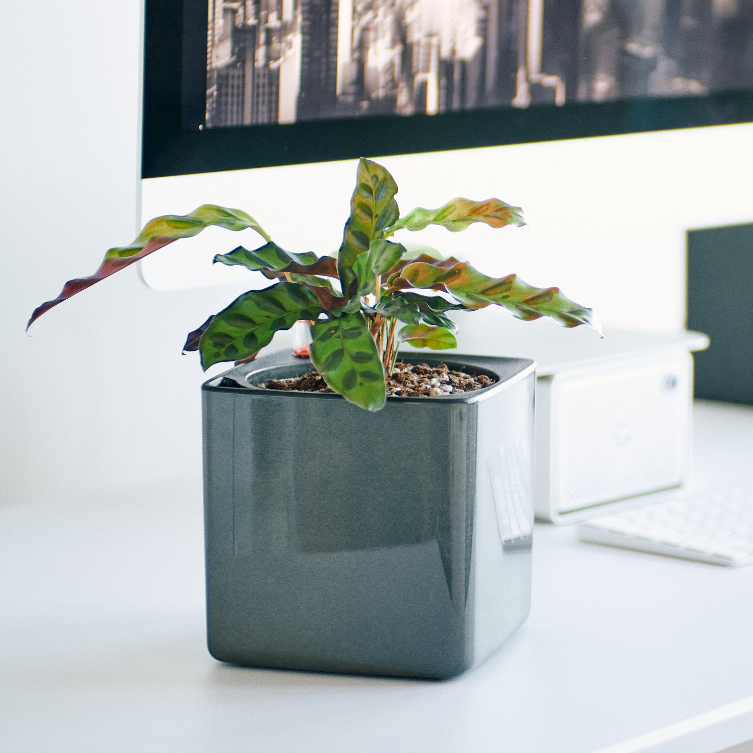 Calathea In Lechuza Cube Charcoal White Planter | My City Plants
