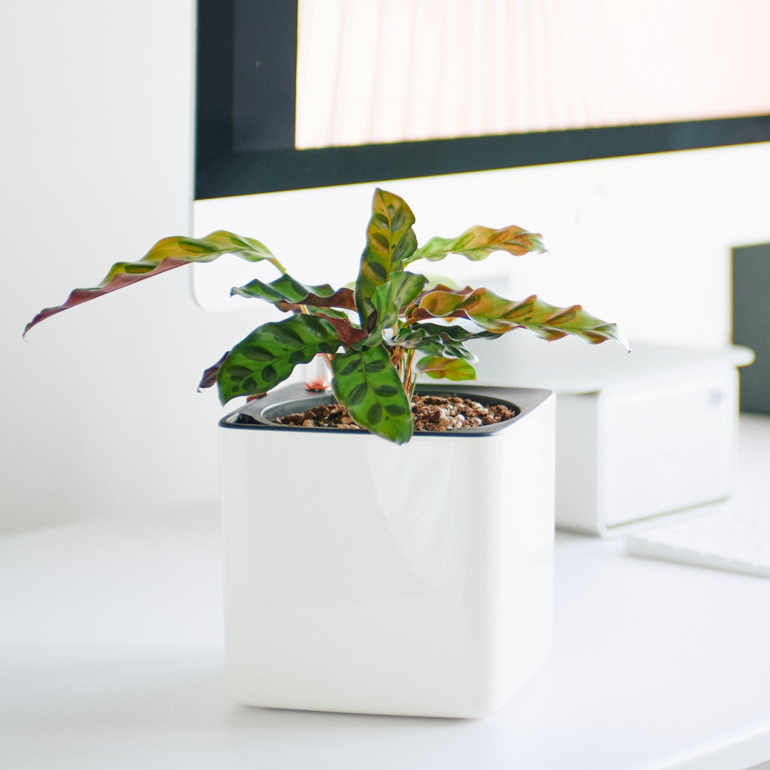 Calathea In Lechuza Cube Glossy White Planter | My City Plants