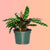 "Calathea Rattlesnake In 6"" Nursery Pot 