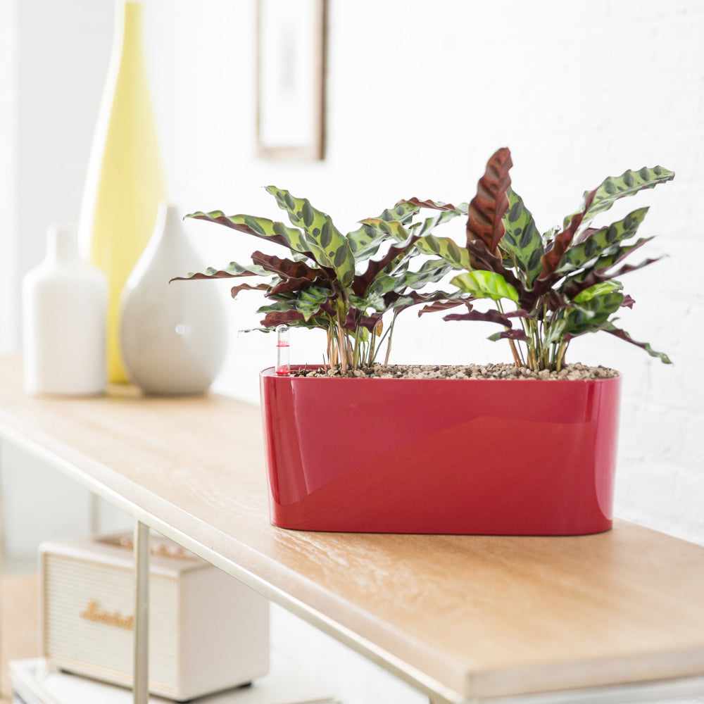 Calathea Rattlesnake In Lechuza Windowsill Mini Red Planter - Shop Online - My City Plants
