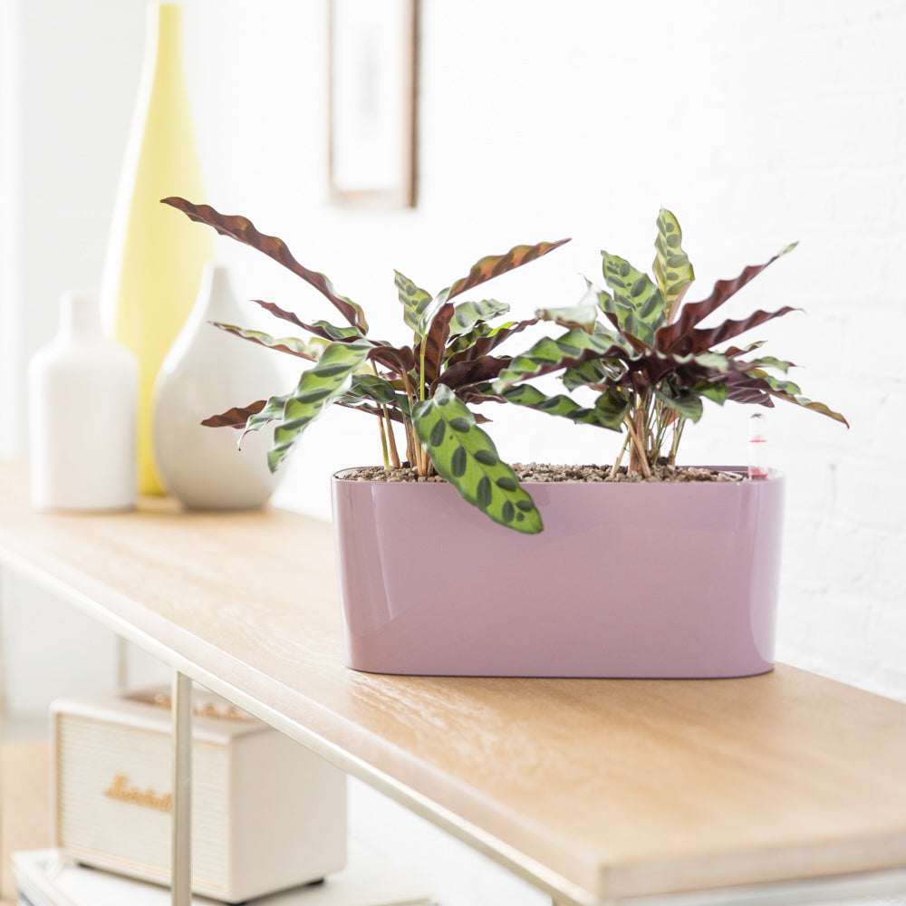 Calathea Rattlesnake In Windowsill Mini Violet Planter - Shop Online - My City Plants