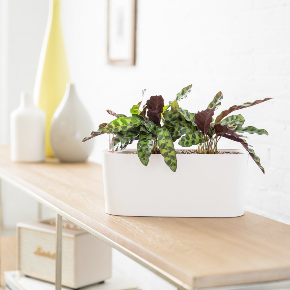 Calathea Rattlesnake In Lechuza Windowsill Mini White Planter - Shop Online - My City Plants