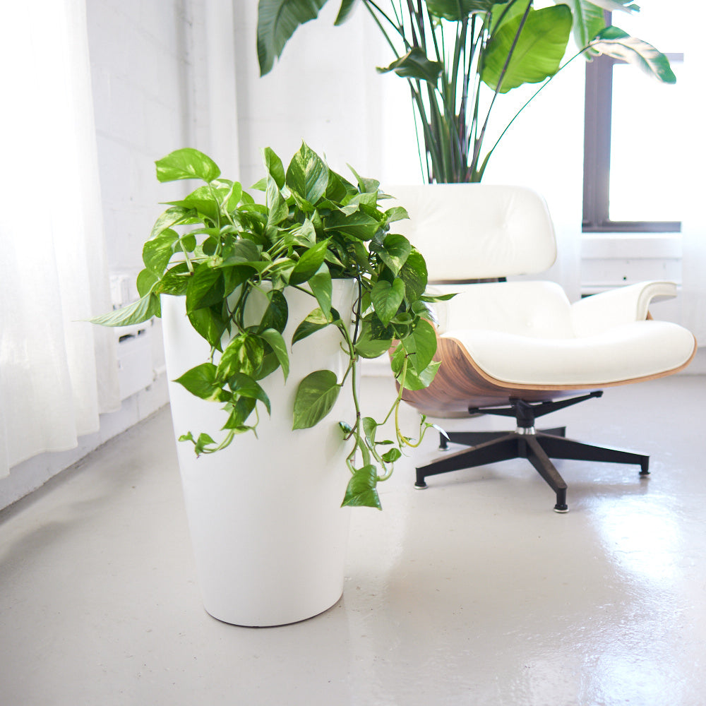 Cascading Pothos potted in white Rondo planter - My City Plants