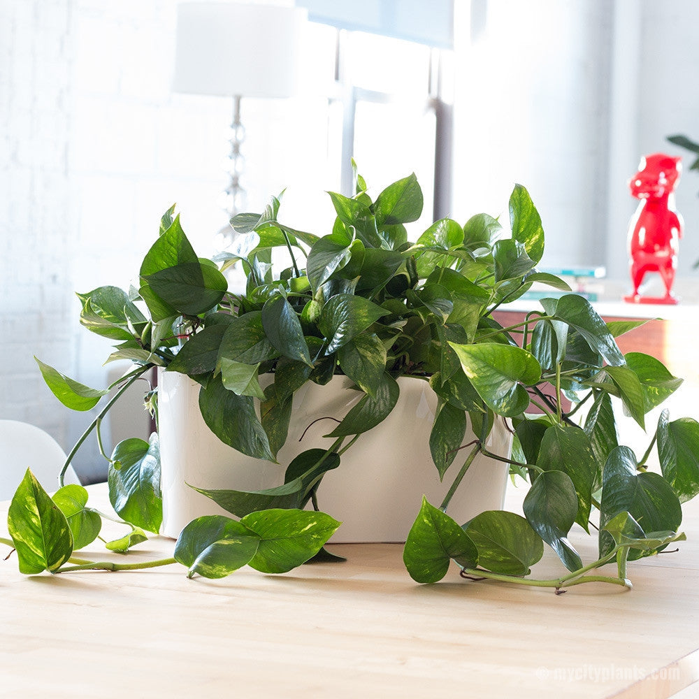 Cascading Pothos Plant Potted In Lechuza white Windowsill - My City Plants