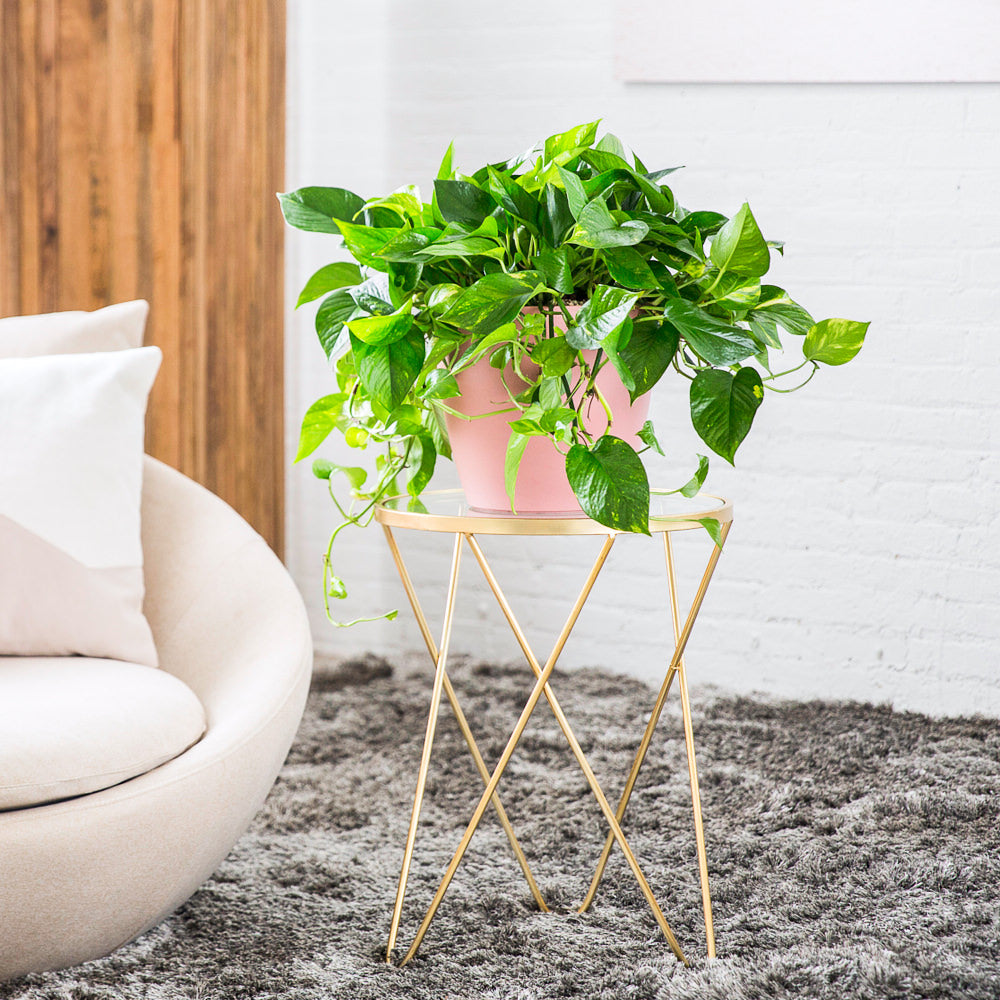 "Cascading Pothos Potted In Classico 11"" Pink Planter - My City Plants"