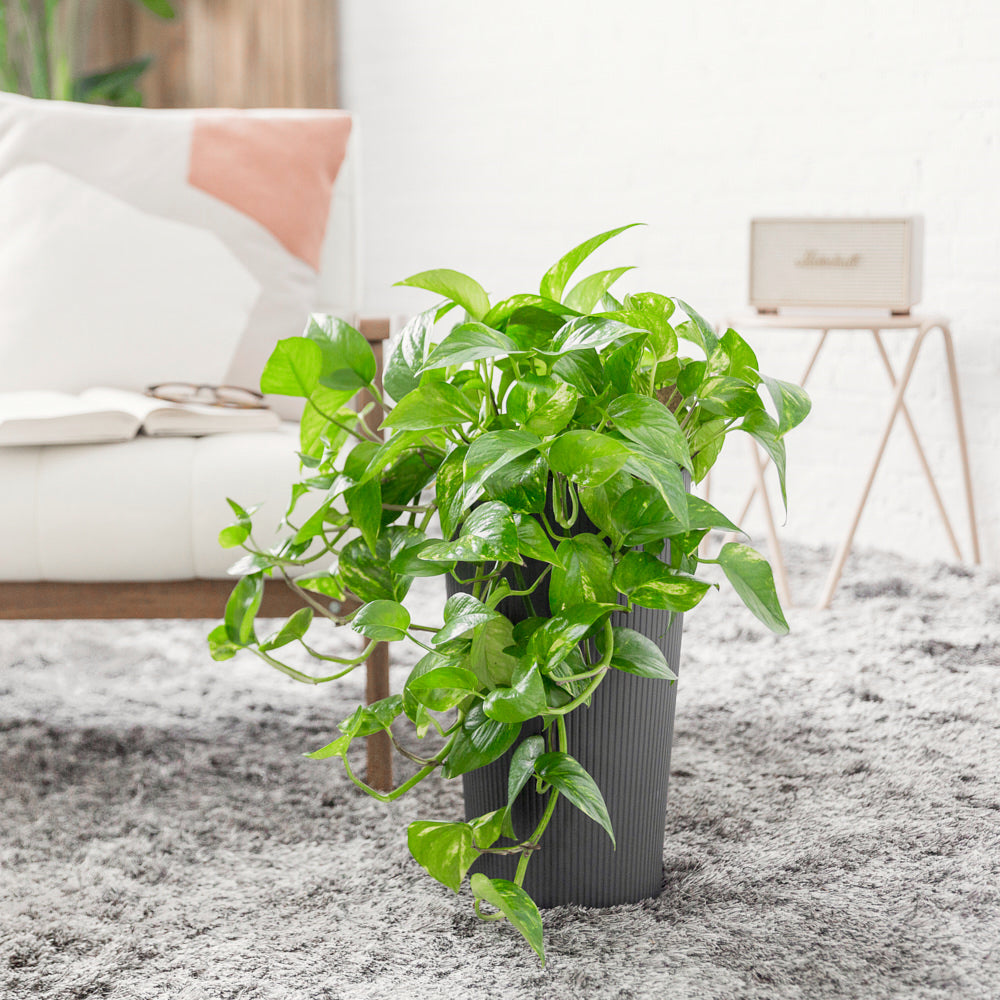 Cascading Pothos Potted In Lechuza Cilindro Slate Planter - Shop Online - My City Plants