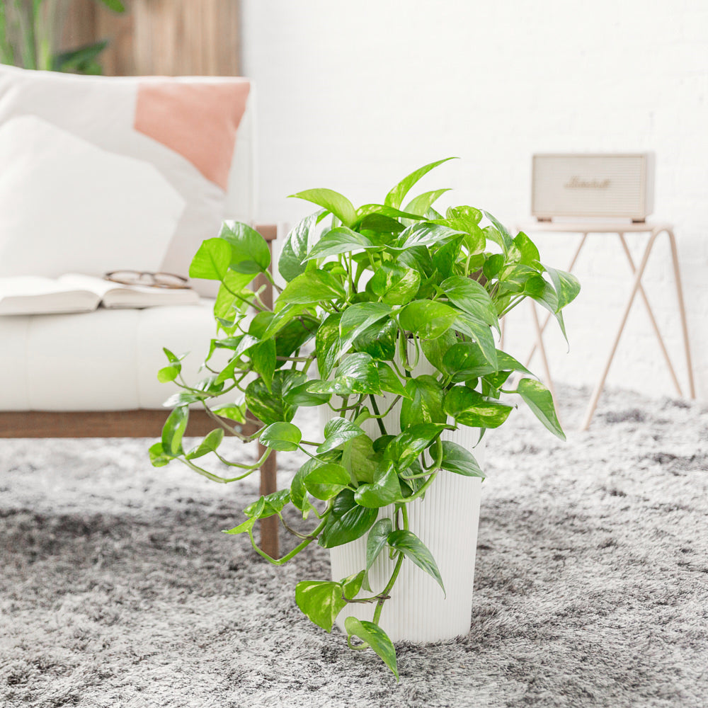 Cascading Pothos Potted In Lechuza Cilindro White Planter - Shop Online - My City Plants