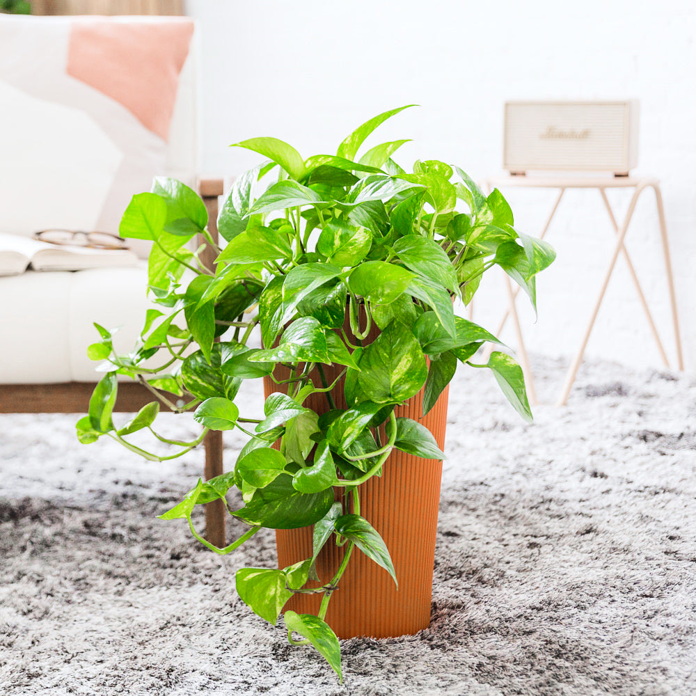 Cascading Pothos Potted In Lechuza Cilindro Sunset Orange Planter - Shop Online - My City Plants